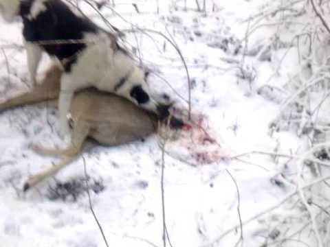 Смотреть сейчас Охота на козу с лайкой HD охота слайкой видео.